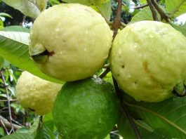 health benefits of guava fruit in winter season